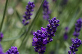 close-up of a blooming lavender