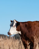 Polled Hereford portrait - 249020646
