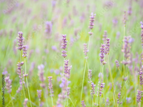 Soft and blurred background of lavender field in Furano, Hokkaido, Japan - 249030610