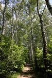 Birch forest in summer - 249037662