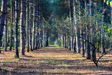 Path at the pine forest at the evening - 249039636