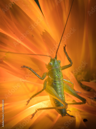Foto Murales A close up of the grasshopper on flower.