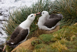 Black-browed Albatross mother and young - Falklands Islands poster