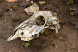 Skull of a sheep - Saunders Island - Falkland Islands poster