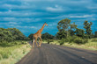 Quadro Giraffe crossing the road, Kruger National Park, South Africa.