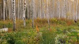 Birch grove in autumn - 249093889