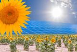 Panneaux solaires, photovoltaïques sur champ de tournesols
