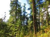 Pinos en bosque de Michoacán, México - 249166299