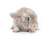 Quadro Grey baby rabbit.