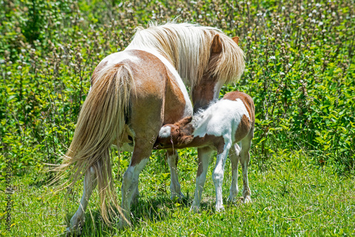 Mother and baby Shetland Ponyies of Grayson Highlands.