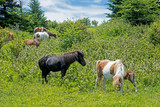 Breeding time with Palomino Ponies on Grayson Highlands.
