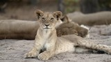 Lion cub and pride resting in the shade, Chobe National Park,  Botswana, Slow-motion - 249223468