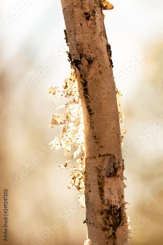 birch bark on the trunk - 249247202