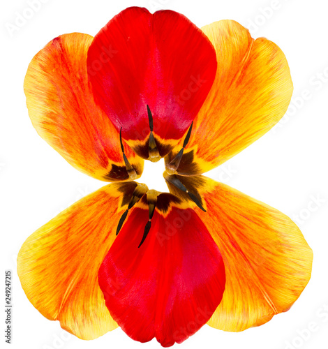 Foto Murales Petals of a tulip on a white background