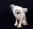Portrait of breed Chinese Crested Hairless dog on a black background