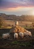 Cotswolds Sheep - 249270406