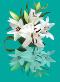 white lily flower with reflection on cyan background