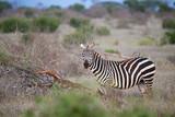 One zebra standing and watching between the bush