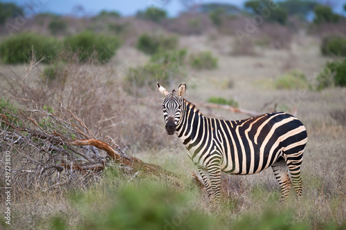 One zebra standing and watching between the bush - 249273830