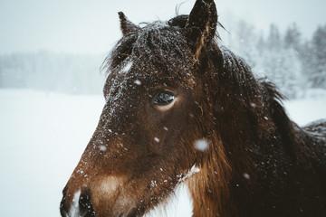 Nordland horse in Norway © genlock1