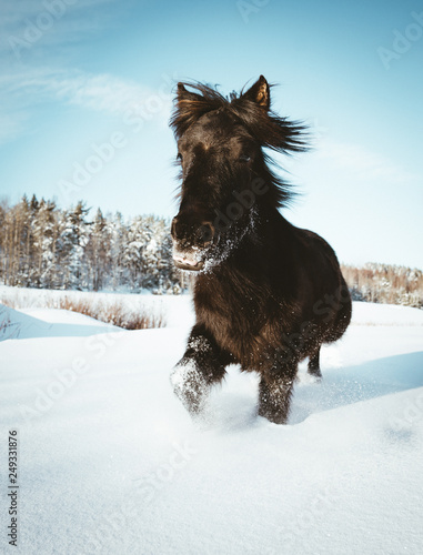 Nordland horse in Norway