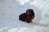 Beauty dog long haired dachshund