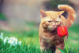 Cute little red kitten walking on the grass in a garden. Cat sniffing tulip flower