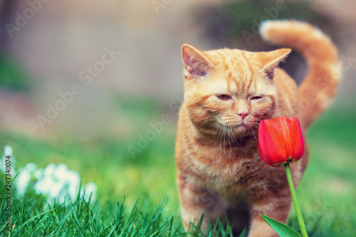 Leinwanddruck Bild Cute little red kitten walking on the grass in a garden. Cat sniffing tulip flower