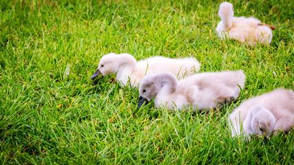 Kleine Schwäne essen Gras © gleichpaul71