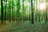 Fototapeta Las - green Forest trees. nature green wood sunlight backgrounds © Pakhnyushchyy