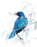 Bird tropical colorful African sun bird ornithology blue bird watercolor painting illustration isolated on white background