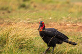 Souther Ground Hornbill with a mouthfull of grasshopper - 249414277