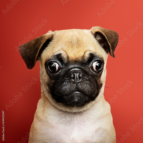Adorable Pug puppy solo portrait
