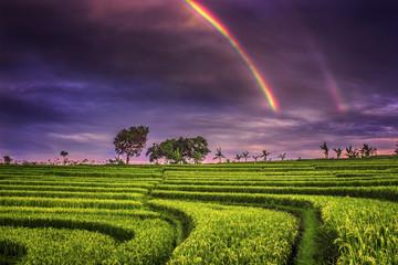 Beautyfull moment rain in the morning at paddy fields © Rahmad Himawan