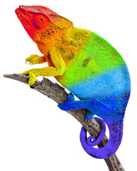 Caméléon aux couleurs de l'arc-en-ciel