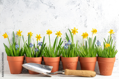 daffodil flower and grass in pot
