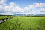 green paddy farm