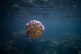 Cotylorhiza tuberculata (fried egg jellyfish)  jellyfish underwater in beautiful clear water in a bay of Palma de Mallorca Spain, amazing underwater wildlife photography, Beautiful jellyfish swimming