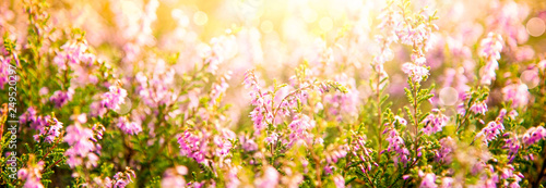 Erica Flower Field, Summer Season, Bokeh, Greeting Card - 249520297