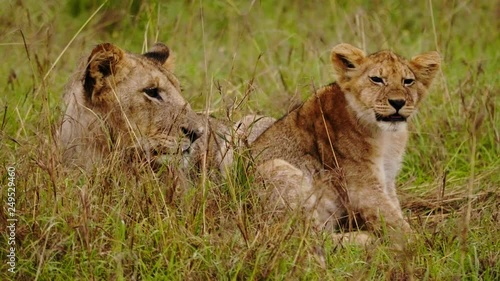 Lioness and baby lion in Kenya, Africa.