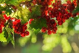 Red currant grows on a bush in the garden. Ripe red currant close-up as background. Harvest ripe berries of red currants. A bunch of red currants on a branch. Nature concept. Place for inscription. - 249538818