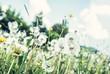 Dandelions in spring meadow, natural scene