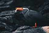 Inca Tern - Larosterna Inca sitting on a rocky coast cliff - 249567813