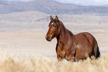 Beautiful Wild Horse in the Utah Desert in Winter