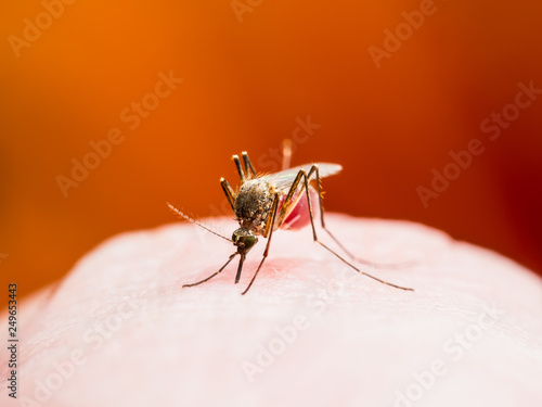 Dengue or Yellow Fever, Malaria or Zika Virus Infectious Mosquito Insect Macro on Red Background - 249653443