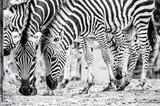 Herd of Chapman's zebra, colorless