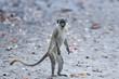 Vervet monkey (chlorocebus pygerythrus