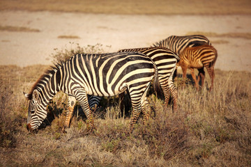 Group of plains zebras (Equus quagga) grazing in African savanna, lit by afternoon sun. Amboseli national park, Kenya