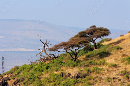 Landscape with African thorn-trees, Amboseli National Park, Kenya.