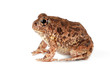 A southern African sand frog (Tomopterna cryptotis) isolated on white.